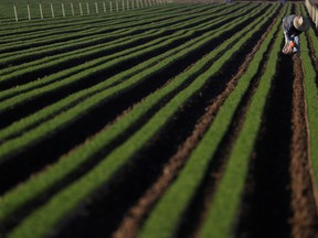 An agricultural worker cleans carrot crops of weeds in California.