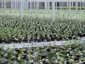 An Aphria growing facility in Leamington, Ont.
