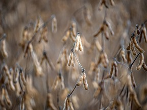 Soybeans on a farm in Ontario.