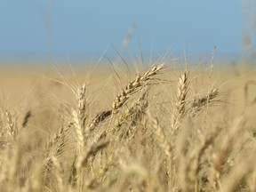 Wheat grows in a field before harvest near Brunkild, Manitoba.