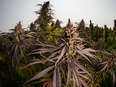 Hemptown Organics Corp. is one of the largest global producers of CBG.  SUPPLIED