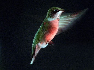 A Ruby Throated Hummingbird hovers while feeding in late afternoon.