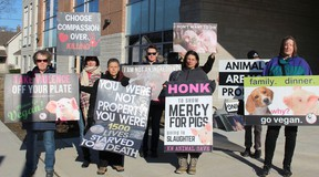 Members of KW Animal Save and London Pig Save hold a vigil outside the provincial offences court office in Simcoe on Thursday prior to the sentencing of Benjamin Stein, who earlier pleaded guilty to animal cruelty charges after 1,500 hogs died at his farm near Frogmore last year. (MICHELLE RUBY/POSTMEDIA NEWS)