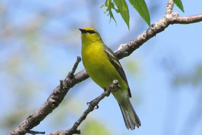 The raspy bee-buzz call of the blue-winged warbler can be heard in scrubby thickets near forest edges. This bird was seen at Komoka Provincial Park west of London last weekend.        (PAUL NICHOLSON/SPECIAL TO POSTMEDIA NEWS)