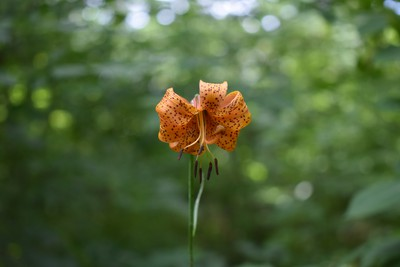 Wood lilies are a common site in Pinery Provincial Park. Lilies are one of many flowers seen on the Hickory Trail boasting a rich diversity of plants on its .9 km path along the floodplain of the Old Ausable Channel.   BARBARA TAYLOR/THE LONDON FREE PRESS