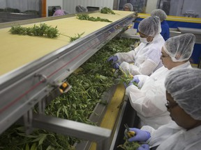 Production workers are shown Sept. 19, 2018, trimming marijuana on a conveyor belt at Aphria's Leamington operations. A shortage of labourers forced the destruction of a million-dollar crop in the summer.
