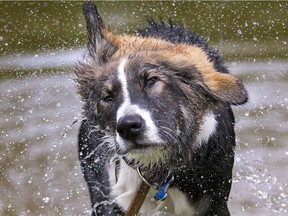 Sully dries off after a dip in the pond at the Plunkett Estate in London on Sunday, June 1, 2014.  (Free Press file photo)
