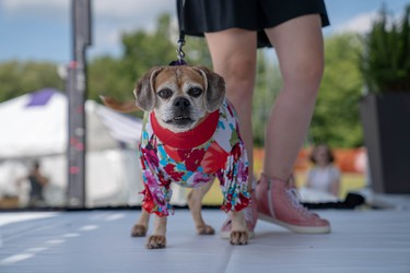 Sophie, a 10-year-old puggle, models an outfit created by Ruff Stitched at Pawlooza's doggy fashion show.