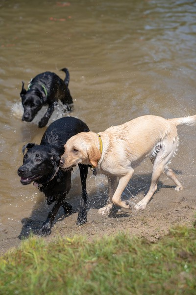 More than 6,000 dogs attended Pawlooza. An off-leash play area with a pond was a popular destination at the Plunkett Estates event.