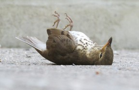 Across Canada and the U.S., rare and common birds have been lost at an alarming rate for decades. Research released this month documents these losses and points to remedial actions. (Paul Nicholson/Special to Postmedia News)