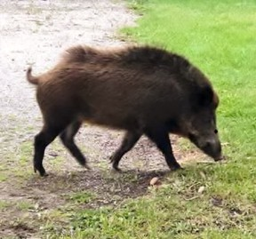 This photo of a wild pig was reportedly taken north of Waterford a week ago and posted on social media. The photo has also been posted to a website dedicated to mapping wild and feral pig sightings in Ontario.