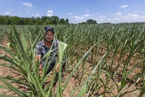 Matt Kittell of Strathroy is seeing his corn crop curls its leaves to trap moisture and uses the shinier portion of the base of the leaf to reflect sunlight as rain is scarce lately. (Mike Hensen/The London Free Press)