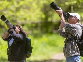 Karen Fader and Garry Cowdroy try to capture a bird amongst the leaves and branches in Kilally Valley Park on Wednesday May 12, 2021. The park has been busy with birders since a rare blue grosbeak was spotted there recently. They had seen several migratory warbler species as well as vireos on this trip. Londoners are being asked to vote online to choose an official bird for the Forest City. (Mike Hensen/The London Free Press)
