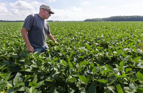 """Brian Fletcher of Komoka checks on his 85-acre soybean field west of London on Thursday August 12, 2021. Fletcher said he's not complaining about his crop, when compared to what farmers in western Canada are facing this summer. Fletcher said his beans are big enough now that they can tolerate more water, but """"we need heat now,"""" he said, adding an old saying: """"July makes corn, and August makes beans."""" Mike Hensen/The London Free Press"""