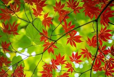 Looking up at a branch of a Japanese Maple