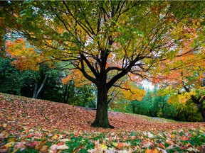 Leaves cover the ground under a tree at Mount-Royal park.