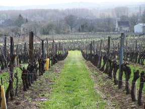 Cabernet franc vines in St-Nicolas-de-Bourgueil: in the Loire Valley, the grape is bottled alone; but in Bordeaux, it is blended with cabernet sauvignon and merlot.