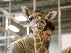 Kumi the giraffe was born at Granby Zoo in Quebec Jan. 11, 2016.