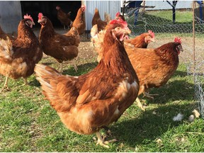 St.-Lazare considers allowing chicken coops in residential areas.