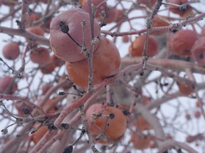 It's thanks to the extreme cold that the sugars and flavours in apples can concentrate enough to produce Quebec ice cider.