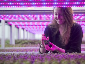 Lauren Rathmell of Lufa Farms with seedlings under LED lights at the urban farming organization's third, and newest, commercial rooftop greenhouse, this one in Anjou. On Tuesday January 17, 2017. The LED lights are red and blue, the optimal spectrum for photosynthesis and plant growth.