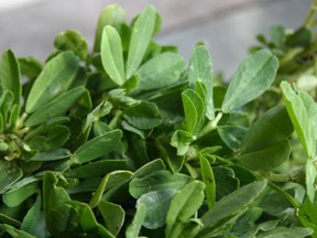 Fenugreek, or methi, leaves are often used in curries, as are the plant's seeds. As a food, fenugreek rarely causes problems, but as a supplement it can result in loose stools and intestinal discomfort, Joe Schwarcz writes. Handout photo