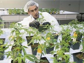 Dale Wilesack, senior person in charge at the Aurora Vie plant, checks cannabis seedlings in Pointe-Claire last Friday.