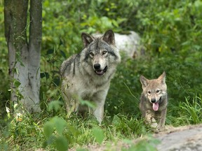 Parc Omega is a safari-style wildlife park that features Canadian animals, mostly from Quebec, like these grey wolves.