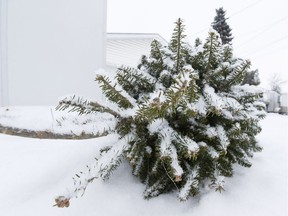 Some West Islanders can recycle their natural Christmas trees this week.