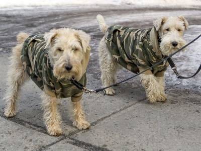 Molly, a fox terrier, left, and Dixie, a mixed breed, wear matching camouflage fleece sweaters while walking with their owner on Doctor Penfield St. in Montreal Thursday January 30, 2020.