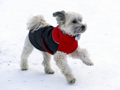 Maximus, a 5 year old Golden Doodle, runs through Summit Circle Woods in a red and black fleece sweater in Westmount in Montreal Thursday January 30, 2020.