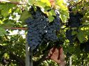 Montepulciano yields wines that are relatively powerful, with notes of red berries and floral aromatics such as violets.