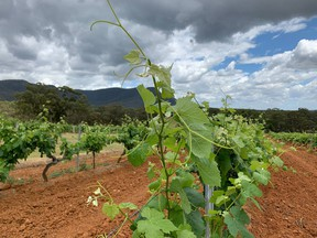 """Springtime grapes form on grapevines at Tyrrell's Wines vineyard in Hunter Valley, New South Wales, Australia. """"In this column, I will never opine on how a winery should be managed, on how a wine should be made or what appellation it should be given,"""" Martine St-Victor writes."""