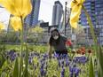 Eric Fortin takes care of the flowers in the Georges Vanier community garden next to the condo high-rises in downtown Montreal on Tuesday May 19, 2020.
