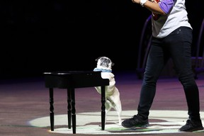 Elton the Pug in SuperDogs: The Musical.