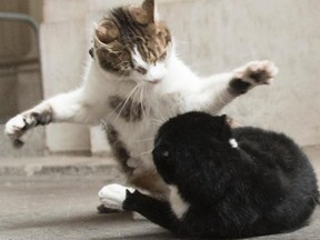 The battle for dominance between 10 Downing's cat Larry and Palmerston, who just moved into the Foreign Office across the street, has sent fur flying.