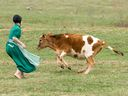 In this April 9, 2013 photo, an Amish girl chases a cow from the outfield during a baseball game in Bergholz, Ohio.