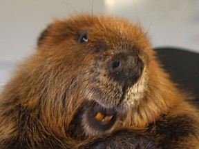 A Canadian cousin of the beavers now ravishing South America at the Wildlife Haven Rehabilitation Centre in Ile des Chenes, Man. in 2015.