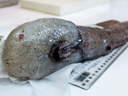 The faceless fish, which has only been recorded once before by the pioneering scientific crew of HMS Challenger off Papua New Guinea in 1873, is one of many species hauled up from the deep waters off Australia during a scientific voyage studying parts of the ocean never explored before.