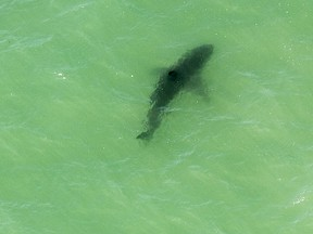 A shark swims in the water off Capo Beach in Dana Point, Calif., Thursday, May 11, 2017. Advisories were posted for beaches up and down Southern California after shark sightings this week.