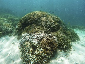 About three-quarters of the world's delicate coral reefs were damaged or killed by hot water in what scientists say was the largest coral catastrophe in severity, time and amount of area affected. (AP Photo/Caleb Jones, File)