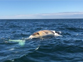 Researchers check out a dead right whale in the Gulf of St.Lawrence in a handout photo.