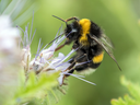 Published reports suggest about a third of the crops eaten by humans depend on insect pollination, with bees responsible for about 80 per cent of that figure.