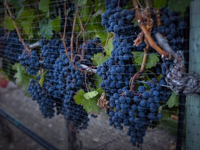 Ripe grapes hang on vines protected from birds with a net at the Okanagan Valley's River Stone Estate Winery in Oliver, B.C., Monday, Sept. 12, 2016. U.S. Trade Representative Robert Lighthizer has an issue with getting agricultural products to Canada, and it might not be the ones you think.