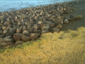 In this Sept. 7, 2015 photo provided by U.S. Fish and Wildlife walruses lay on the beach at Point Lay, Alaska. The U.S. Fish and Wildlife Service says 64 walruses died on the northwest Alaska beach and the animals may have been killed in stampedes. (U.S. Fish and Wildlife via AP)