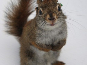 A male red squirrel who committed infanticide while a researcher watched is shown in a handout photo. Scientists from the University of Alberta have discovered male red squirrels will kill the offspring of its rival males in years when there's a lot of food.