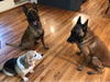 """Havoc, centre, hangs out with his new pals Jimmy and Elton, a """"semi-retired"""" beagle."""