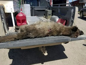 This undated photo provided by the Montana Fish, Wildlife and Parks on Friday, May 25, 2018, shows a wolf-like animal that was shot on May 16, 2018, after it was spotted in a private pasture with livestock near Denton, Mont. It was originally thought to be a wolf, but doubts arose since the front paw appeared too short, the front claws too long, the canine teeth too short, and ears too tall in proportion to the skull. (Montana Fish, Wildlife and Parks via AP)