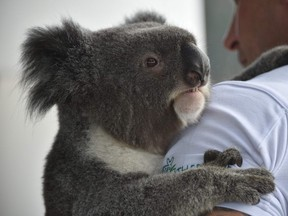 Chad Staples from the Featherdale Wildlife Sanctuary holds a four-year-old koala named Archer at a media event in Sydney on July 3, 2018. Australia's iconic koala, its very existence imperilled by disease, bushfires, car strikes, and dog attacks, faces a more hopeful future thanks to scientists cracking its genetic code, a study said on July 2.