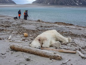 A dead polar bear lays at the beach at Sjuøyane north of Spitzbergen, Norway, on July 28, 2018.